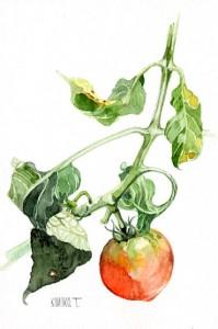 トマト20100827
